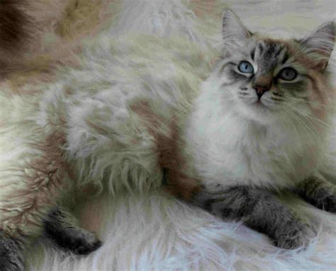 Siberian Cats Shedding by Siberian Information Health Pictures Pet Paw