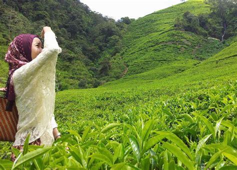Teh Hijau Orang Kung 9 kebun teh di indonesia yang akan membuat matamu jadi