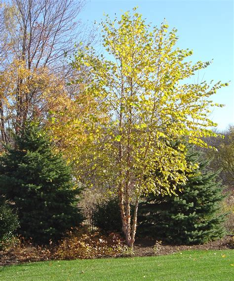 river birch tree fall color for dallas betula nigra www haroldleidner com fallfoliage river