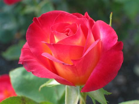 care for your roses in summers skymet weather services