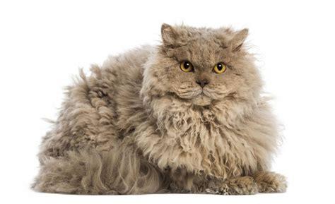 Las 10 razas de gatos más grandes del mundo