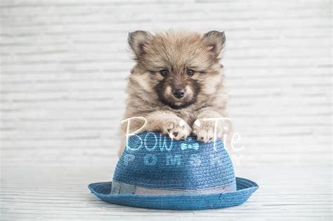 pomsky puppies near me pomsky puppies near me 4k wallpapers