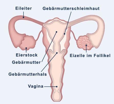 wann ist in der regel der eisprung verstehen sie den eisprung w 228 hrend ihres menstruationszyklus