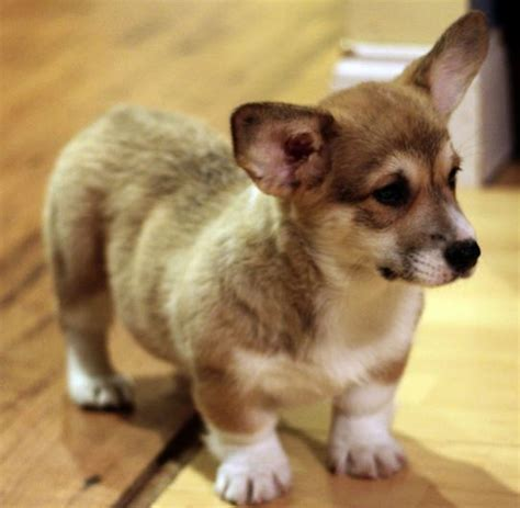 how much do corgi puppies cost puppies legs photos of corgi puppy jpg