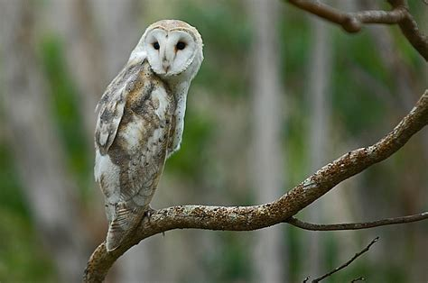 hawaiian owl owls pinterest