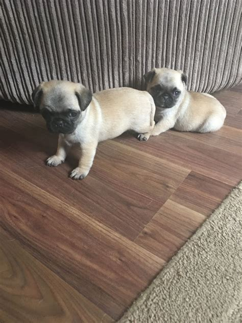 pugs for sale in hertfordshire 1 gorgeous kc reg pug puppy for sale st albans