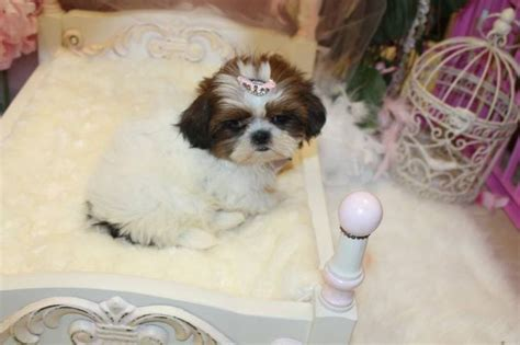teacup shih tzu puppies for sale in florida 72 best images about cutest tiny puppies for sale on morkie puppies for