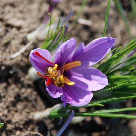 fiore zafferano images