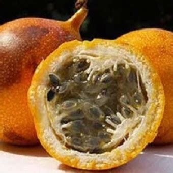 Jual Bibit Markisa bibit markisa orange