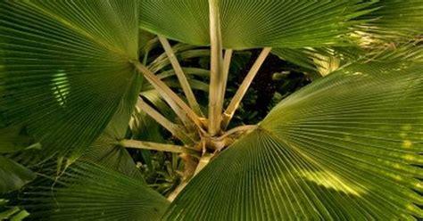 fan palm care fan palm care indoors tips for growing fan palm palms