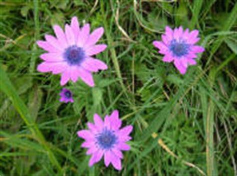 fiore viola nome foto di fiori fotografie di fiori della camapnia