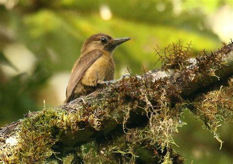 smoky brown woodpecker wikipedia