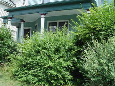 bushes for front of house front big bushes garden housecalls