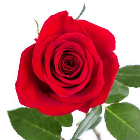 imagenes rosas grandes enviar tres rosas rojas enviar flores a domicilio