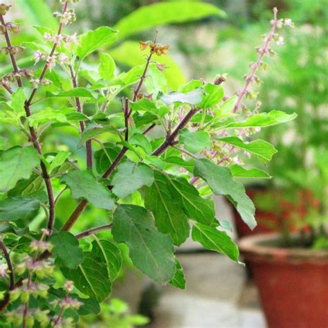 Home Decor Baskets tulsi basil buy indoor outdoor plants online