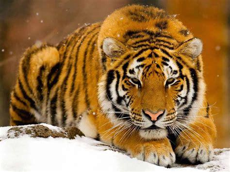imagenes de tigres bonitas