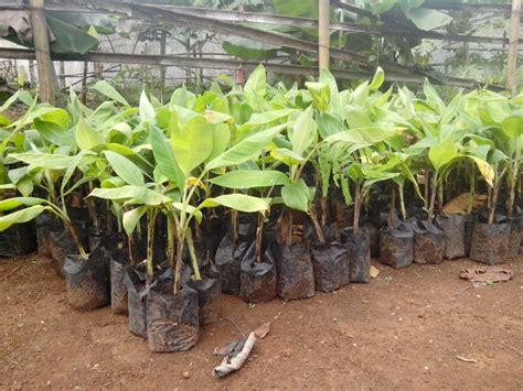 Paket Bibit 5 Jenis jual paket 5 bibit pisang raja bulu baru aneka produk