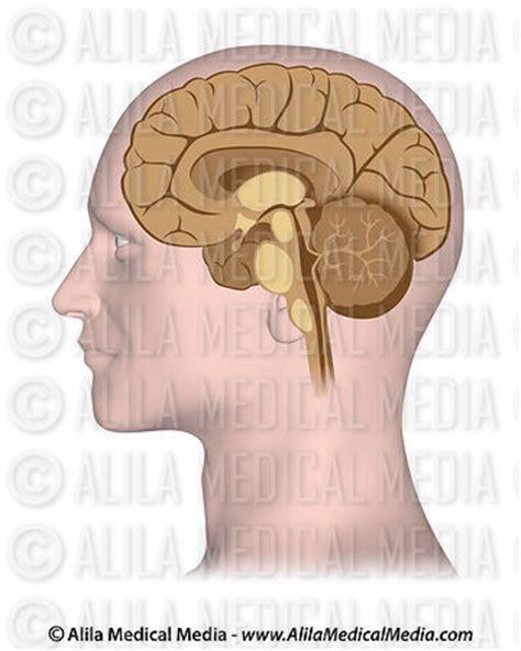 median section of brain alila medical media median section of brain medical