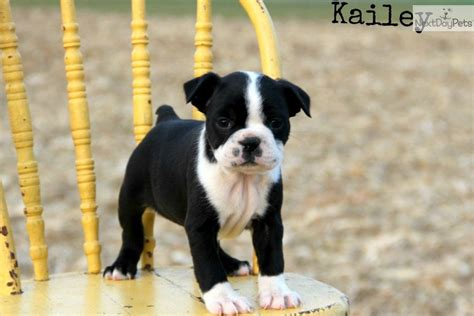 miniature boston terrier puppies for sale near me boston terrier puppies for sale picture breeds picture