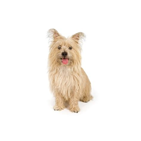 cairn terrier puppies ohio cairn terrier puppies petland carriage place