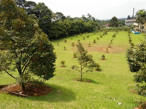 Bibit Durian Musang King Sumatra Barat kebun durian musang king indonesia bibit durian musang