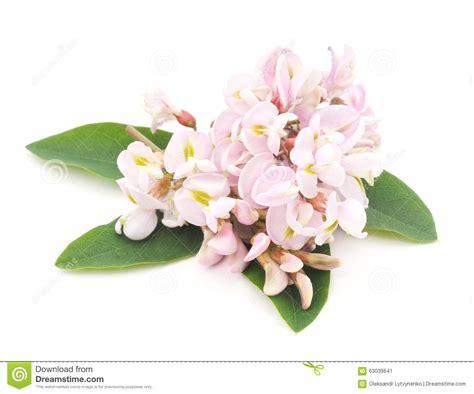 acacia fiore fiore dell acacia immagine stock immagine di acacia