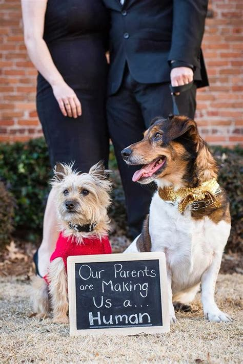 pregnancy announcements with dogs pregnancy announcement with dogs when i