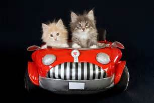 we googled cats in cars can t stop laughing at what we