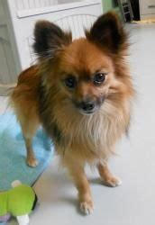 pomeranian chihuahua mix for sale near me finder adopt a or cat near you shelter and pomeranian chihuahua