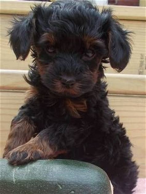 yorkie cockapoo 49 best images about pets that are just to on poodle mix corgis and