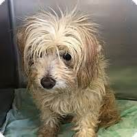 havanese oregon portland or havanese mix meet fawn a for adoption