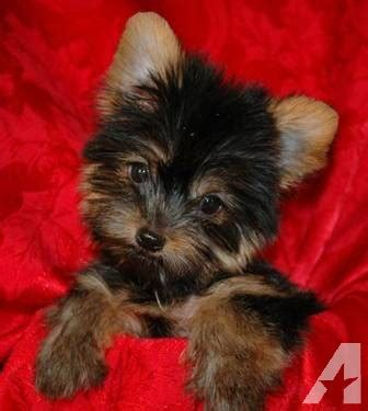 yorkie puppies corpus christi aca registered teacup yorkie for sale in corpus christi classified