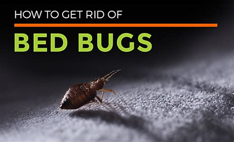 how to get bed bugs out of your bed bed bug control facts all about bed bugs habitat