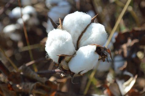 best cotton cotton al from al