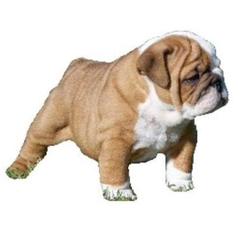 free puppies in fort smith arkansas doc bulldogs bulldog breeder in fort smith arkansas
