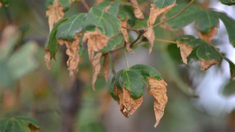 brown leaves  summer  signal scorched plants