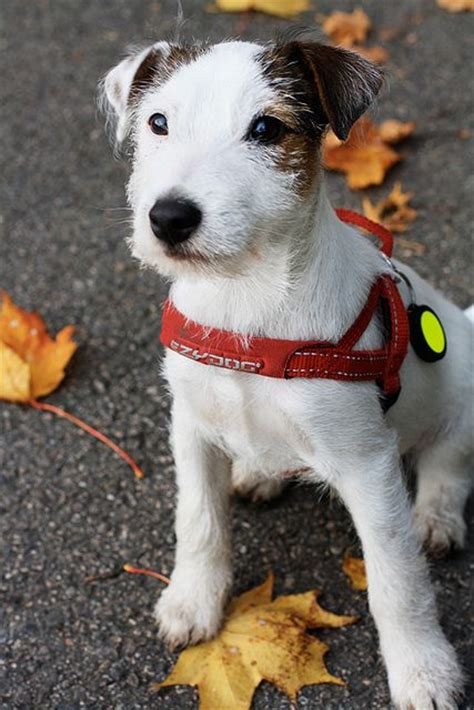 parson terrier puppies best 25 parson terriers ideas on parson