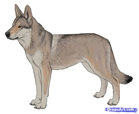 how to a wolf how to draw a wolf wolf hybrid step by step pets animals free