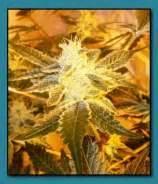 Wedding Cake X Gelato 33 Seeds by Seed Genetics Strains Io Cannabis Marijuana
