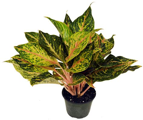 chinese evergreens aglaonema chinese evergreen tropical foliage plants inc