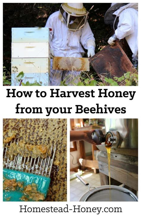 harvesting honey from a beehive best beehive homesteads
