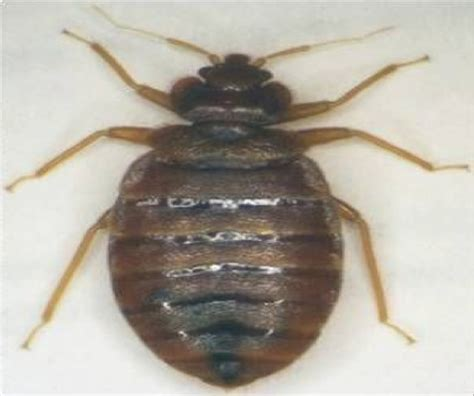 do bed bugs have antennas do bed bugs have antennas 28 images barn swallow bugs www pixshark com images