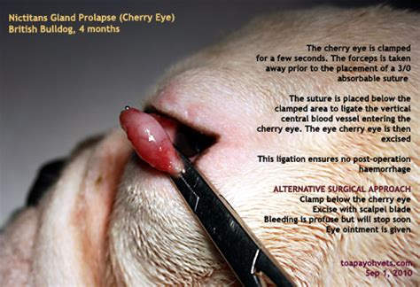 cherry eye in puppies 0829asingapore veterinary cocker spaniel nicitans cherry eye dogs surgery eye
