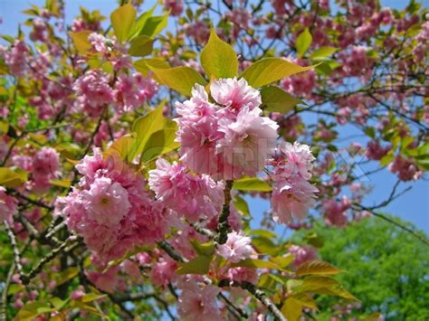 pink sakura flowering cherry blossom stock photo