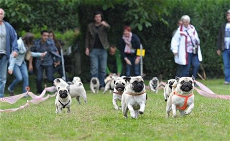 running of the pugs running of the pugs pugs run the race track at the pug race in esslingen