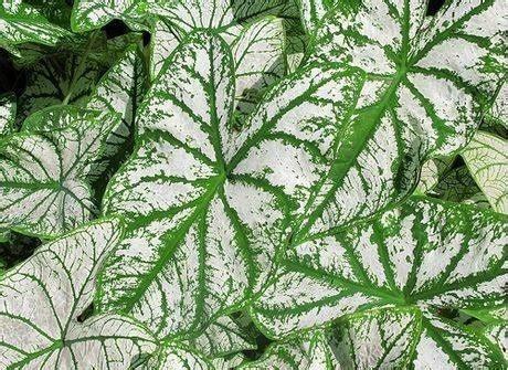 tutte le piante da appartamento caladio piante appartamento