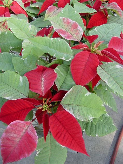 china doll toxic to cats 91 best images about gardening my houseplants and their