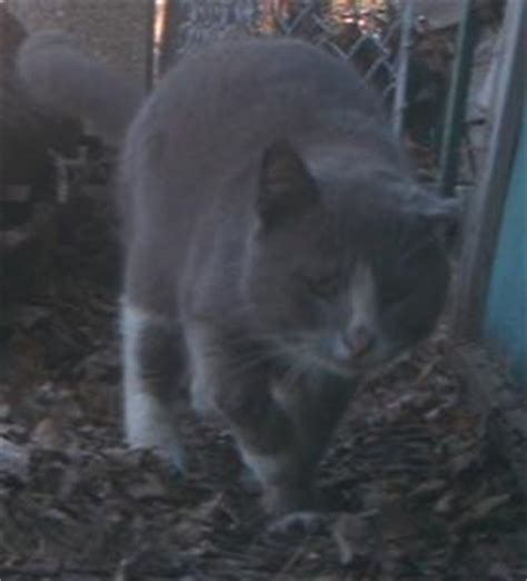 limping but not in limping cat lost pet research recovery