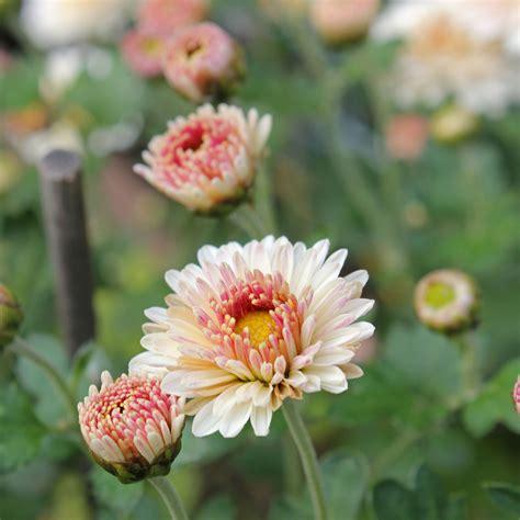 garten chrysantheme chrysanthemen pflege