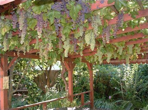 backyard grape vine trellis designs grapevine trellis our garden new ideas pinterest